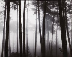 Monterey Pines In Fog, Brett Weston