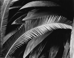 Palms Bronx Botanical Gardens New York  - Rarest Size Black and White Abstract