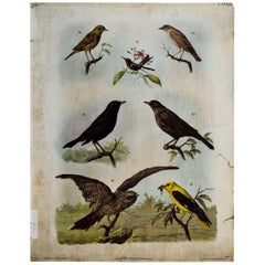 Brids, Vintage Wall Chart