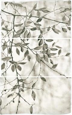 Brigitte Carnochan, Late Leaves I, 2011, platinum palladium print
