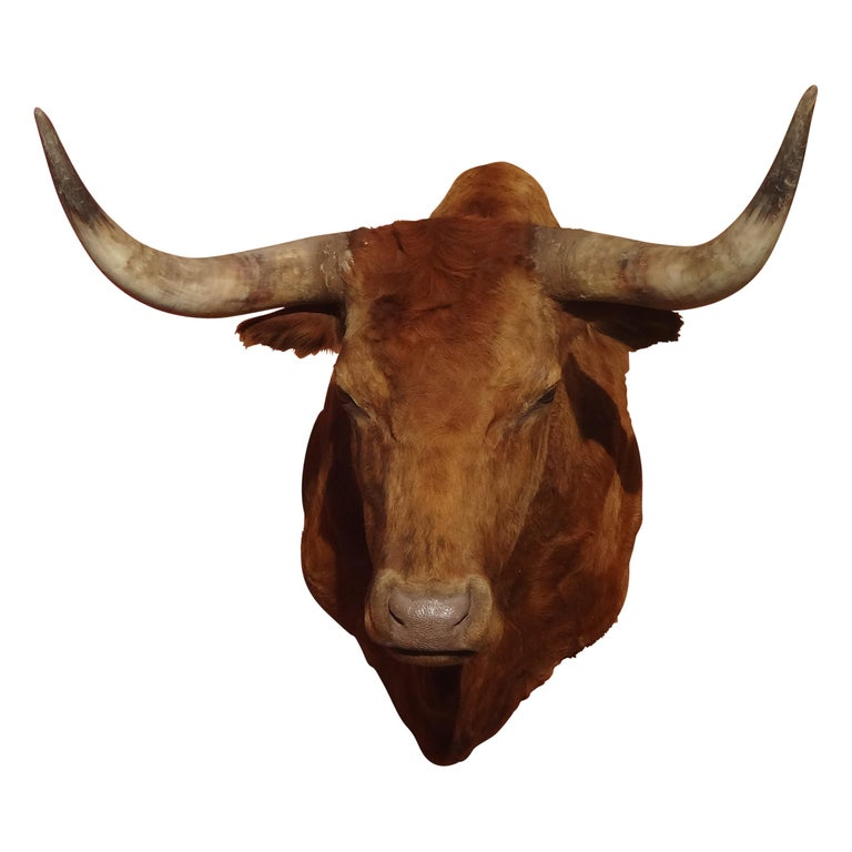 """Longhorn bull from Montana. 36"""" tip to tip, 40"""" H. Protrudes 36."""". Great coloring, nice mount!   Period: Contemporary Origin: Montana Size: 36"""