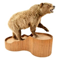 Brown Bear Taxidermy on Stand