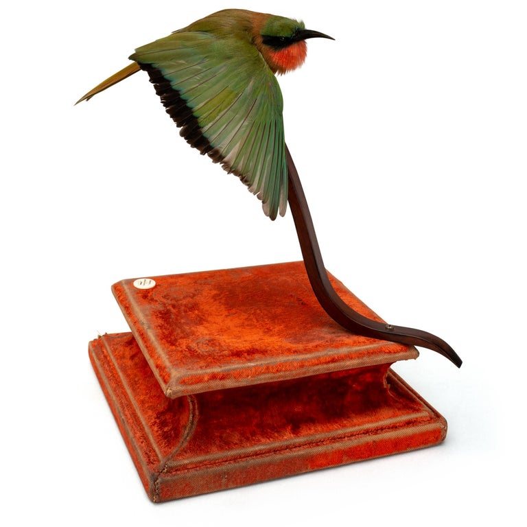 Brown-Breasted Barbet Fine Taxidermy by DS&vT 4