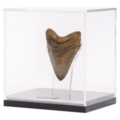 "Brown Fossil Megalodon ""The Monster Shark"" Tooth in Acrylic Custom Box"