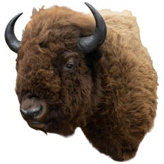 Buffalo Herd Taxidermy Bull