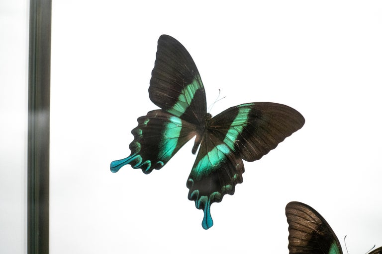 A group of emerald swallowtails in flight, mounted on a black footed wood base in a brass and glass display case.