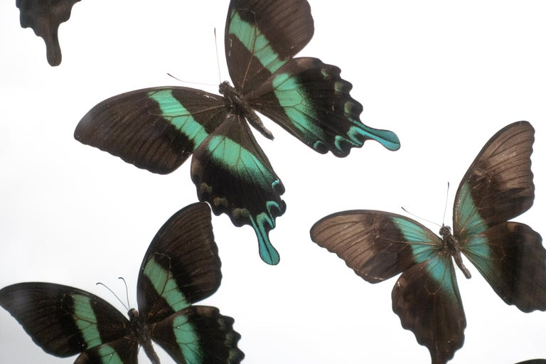Victorian Butterflies in Flight Black and Green with Blue Tips Mounted For Sale