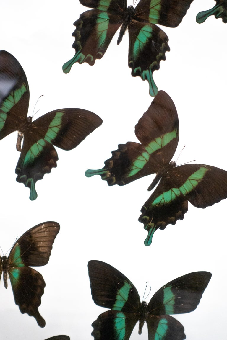 French Butterflies in Flight Black and Green with Blue Tips Mounted For Sale