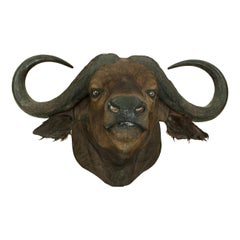 Cape Buffalo Head by Rowland Ward, Big Game Taxidermie