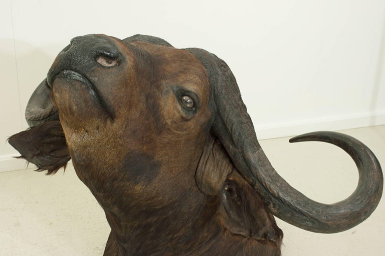 Mid-20th Century Cape Buffalo Head by Rowland Ward, Big Game Taxidermie For Sale