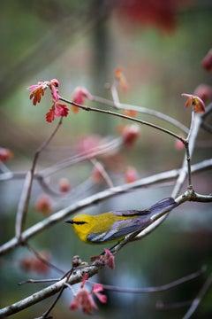 """""""Blue-winged Warbler"""""""