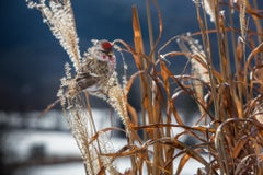 """Common Redpoll"""