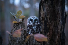 """Northern Saw-whet Owl"""