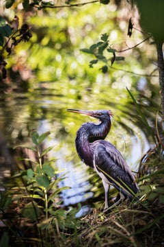 """Tri-colored Heron"""