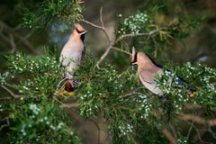 "Two ""Bohemian Waxwings"""