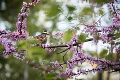 """White-throated Sparrow"""