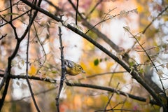 """Yellow-throated Vireo"" - original bird photography by Matt Tillett"