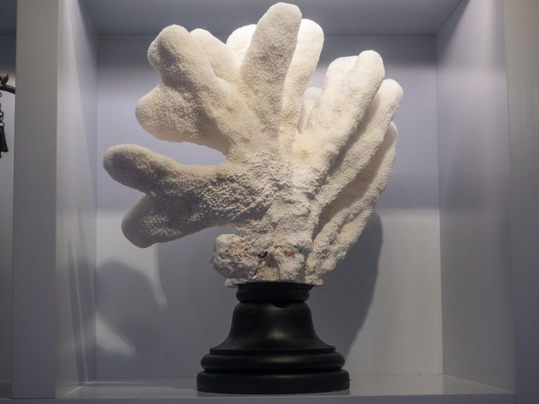Catspaw Coral Mounted In Excellent Condition For Sale In New York, NY