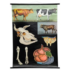 Cattle Cow Anatomy Jung Koch Quentell Art Print Vintage Deco Wall Chart Poster