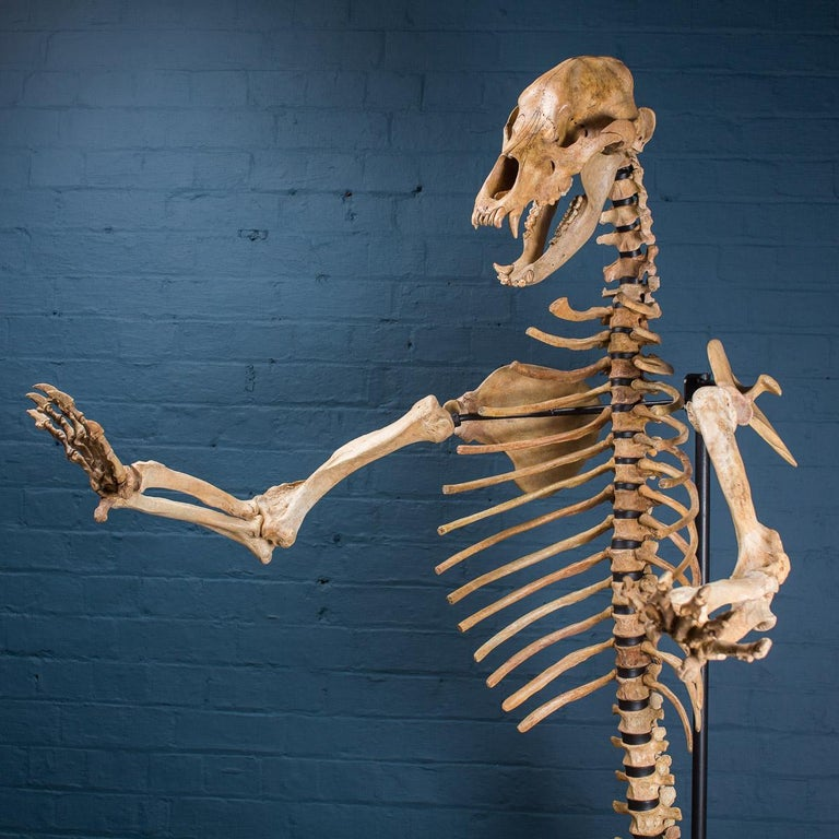 * * *Our company policy is not to ship any taxidermy items to the USA. We apologise from any inconvenience this may cause. * * *  A large cave bear skeleton (Ursus Spelaeus) from the Carpathian Mountains (Romania) dating back to the Upper