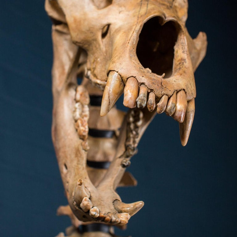 Cave Bear Skeleton from The Pleistocene Era In Good Condition For Sale In London, GB