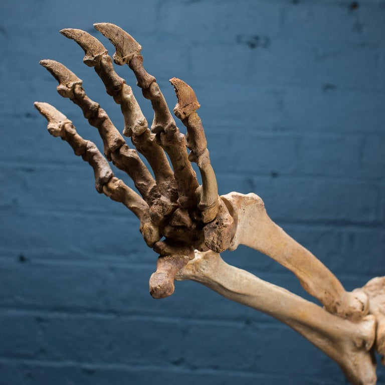 Bone Cave Bear Skeleton from The Pleistocene Era For Sale