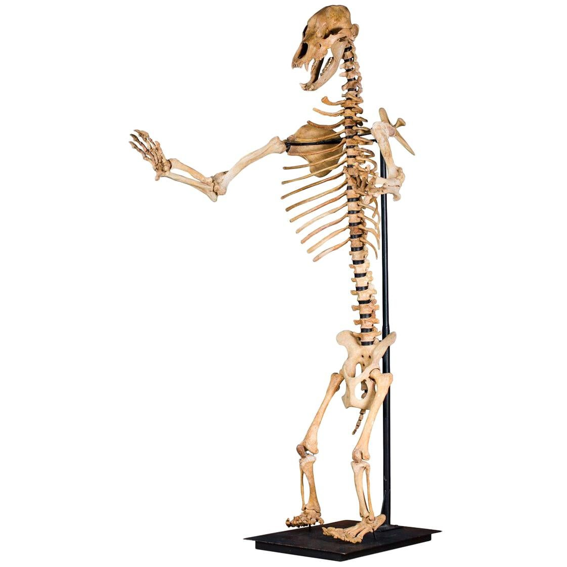 Cave Bear Skeleton from the Pleistocene Era