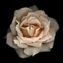 No. 11 (Framed Flower Still Life Photograph of a Pale Pink Rose on Black)