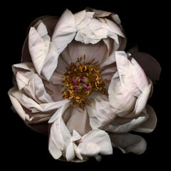 No. 13 (Framed Still Life Photograph of a White Peony Flower on Black)