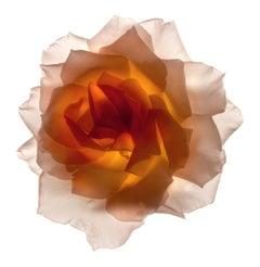 No. 21 (Framed Still Life Photograph of a Pastel Orange Rose Flower on White)