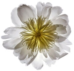 No. 23 (Framed Still Life Photograph of a White & Yellow Flower on White)