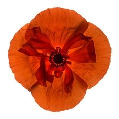 No. 69 (Framed Still Life Photograph of a Bright Orange Poppy Flower on White)