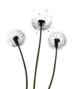 Untitled- Flower 147 (White): Still Life Photograph of Dandelions on White