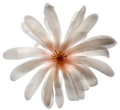 Untitled- Number 74: Still Life Photograph of White Flower & Pink Orange Center