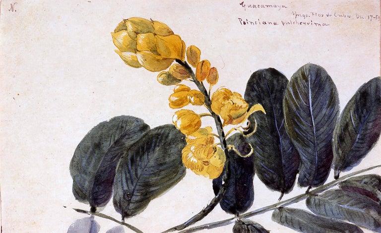 19th Century Botanical Watercolor, Guacamaya, 1869