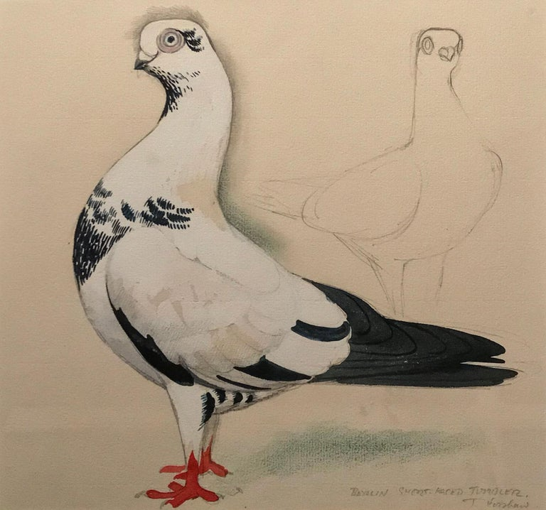 A Berlin short-faced tumber pigeon - Painting by Charles Frederick Tunnicliffe