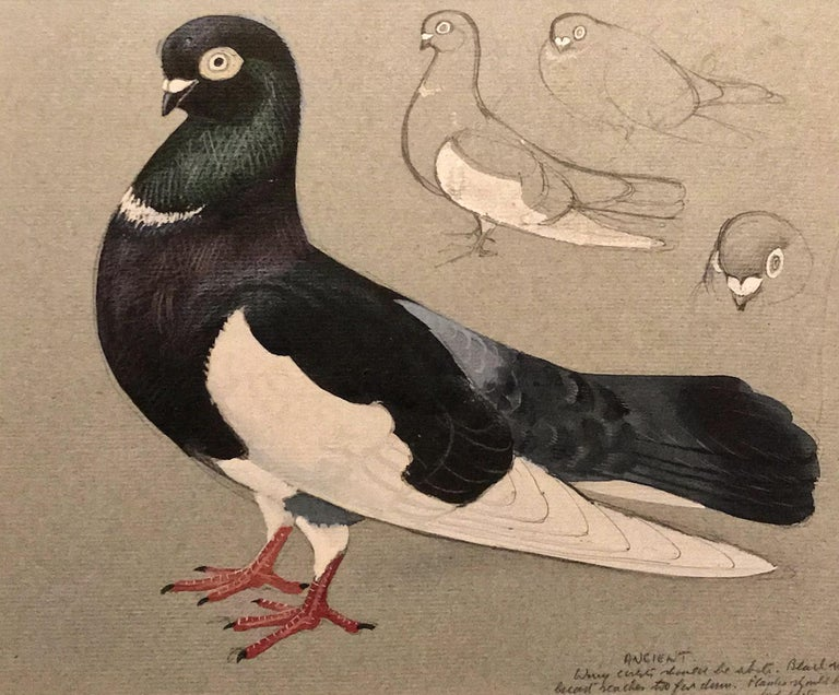 An ancient tumber pigeon - Painting by Charles Frederick Tunnicliffe