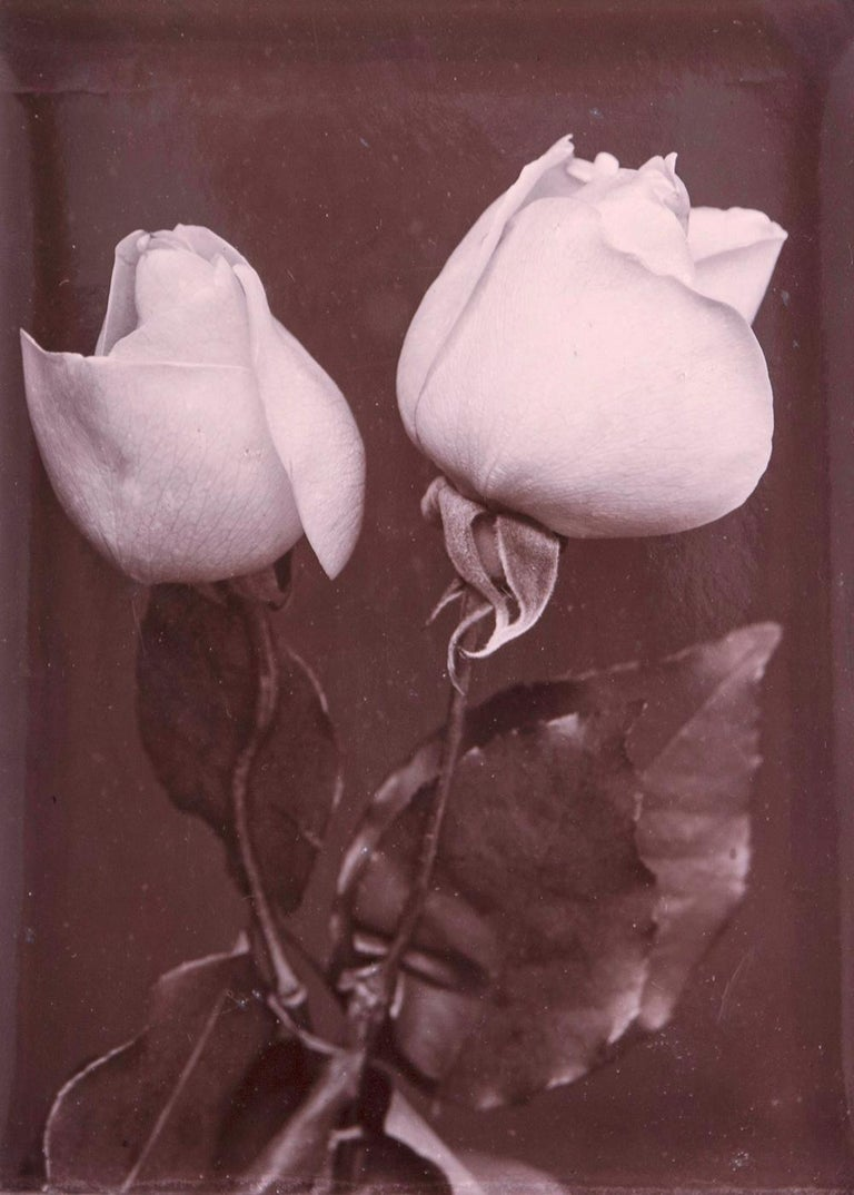 White Roses, c.1900 - Charles Jones (Photography) Inscribed with initials and 'White Uiphetos' on reverse Silver gelatin print, printed c. 1900 6 x 4 1/4 inches  Charles Jones (born 1866) worked as a gardener on the estates of several great houses