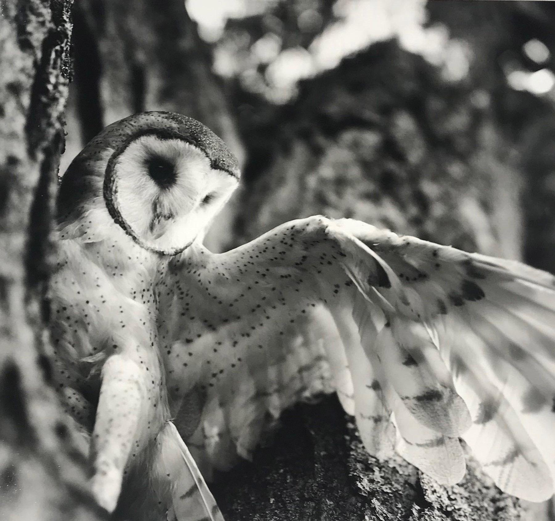 Charles lindsay short eared owl photograph for sale at 1stdibs