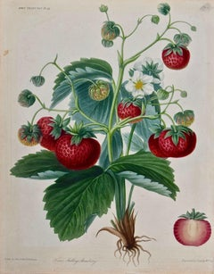 19th Century Hand-colored Engraving of Flowering Strawberry Plants with Fruit
