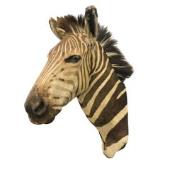 Charming Grant's Zebra Trophy Mount