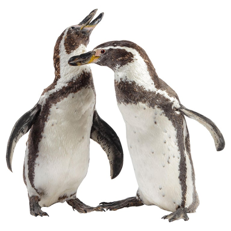 Charming Pair of Victorian Taxidermy Penguins, 19th Century For Sale