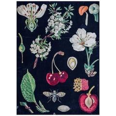 Cherry, Rare Vintage Botanical Wallchart