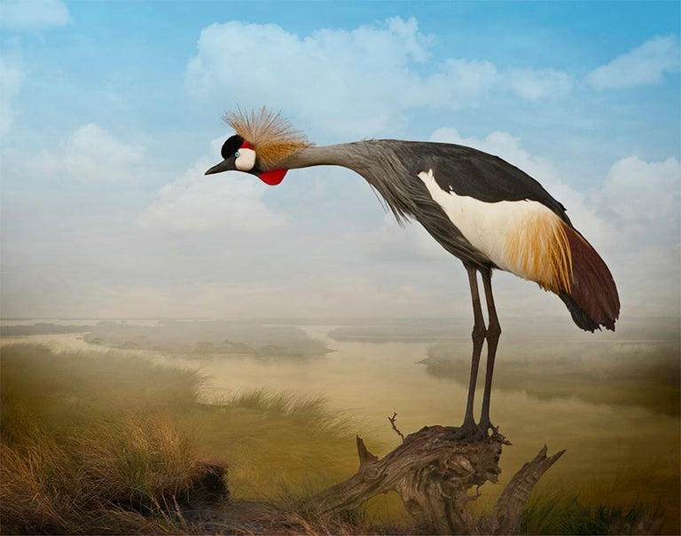 Cheryl Medow Figurative Photograph - Crowned Crane Calling