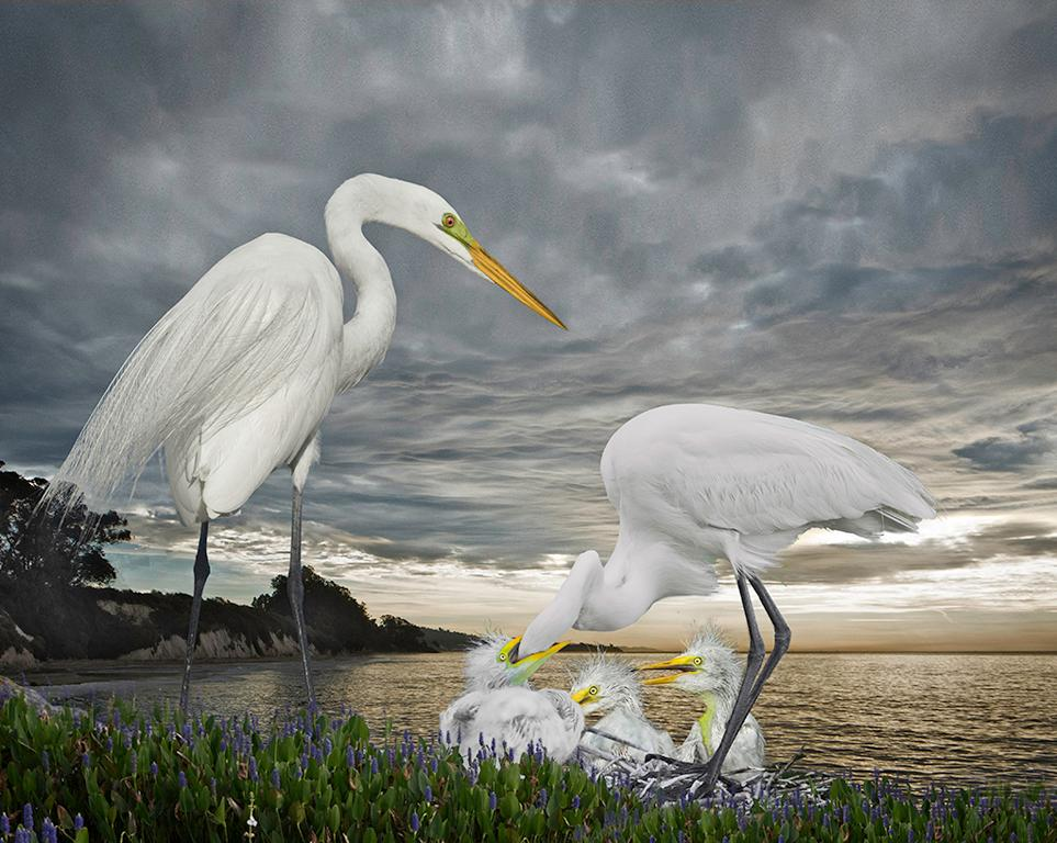 Great Egret Family in the Storm