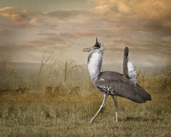 Kori Bustard And Zebras