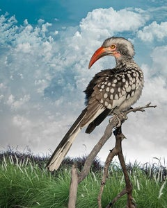 Southern Re-Billed Hornbill