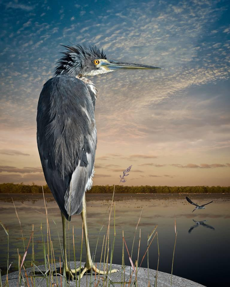 Tri-Colored Heron and A Skimmer