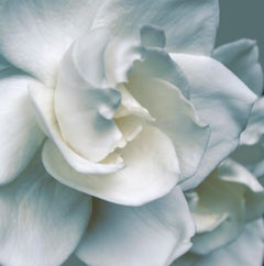 Gardenia (floral painting realist close up white flower oil painting canvas)