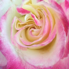 Heart of the rose 3 (floral realist  flower oil painting canvas petals rose)